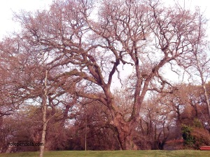 Trees in Alameda park